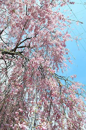 お爺ちゃんと一緒に植えた桜
