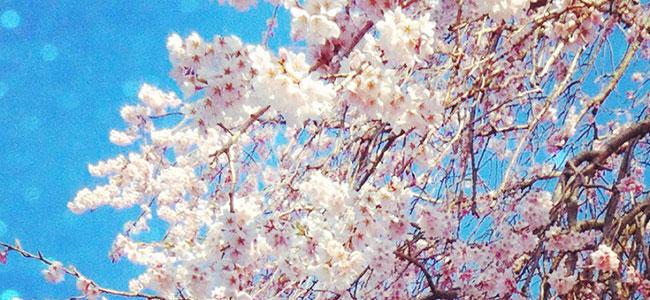 富士見町は桜が見頃です!(2014年GW)