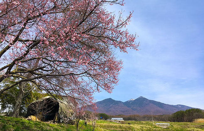 桜前線、標高1000mを通過♪(2017年)