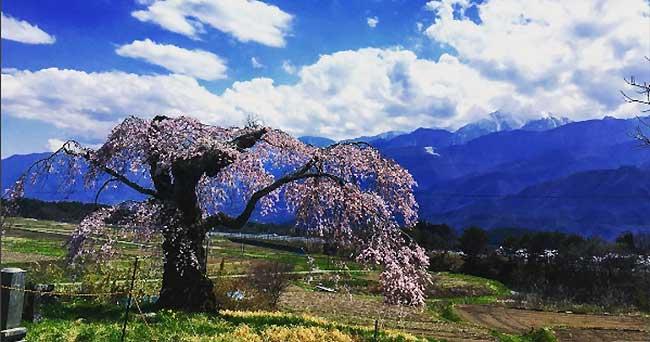 桜前線、標高1100m~1200mまで来ました。富士見町は桜、満開中♪(2017年)